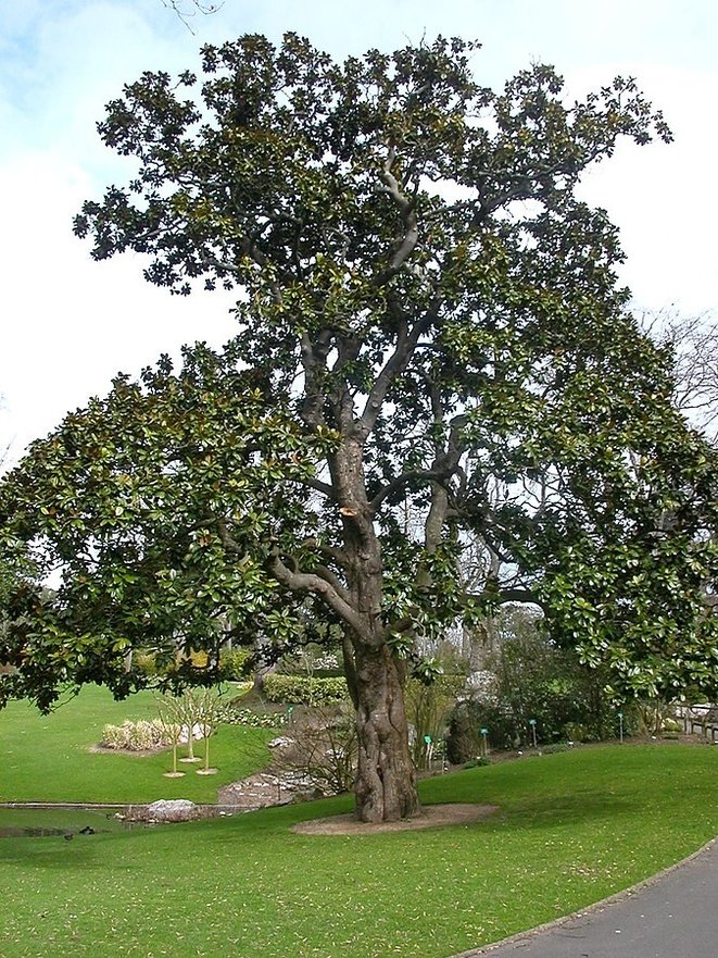 Magnolia d'Hectot